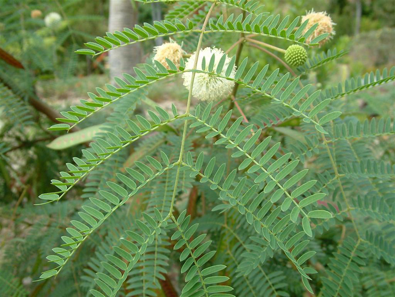 leucaena leucocephala as shoe polisher Ipil-ipil as an alternative source of floorwax - lazaro, etal - download as word doc leucaena leucocephala ± the most widely used forage tree legume.